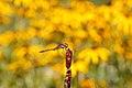 Sympetrum striolatum - botanischer Garten Wien.jpg