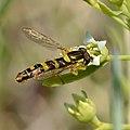 Syrphidae ssp - Thesium ebracteatum - Keila.jpg