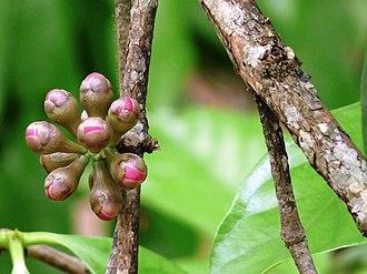 Syzygium malaccense - Image: Syzygium malaccense at Kadavoor