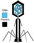 Diagrammatic cross-section of T2 phage, showing the DNA (blue) and protein (black) components
