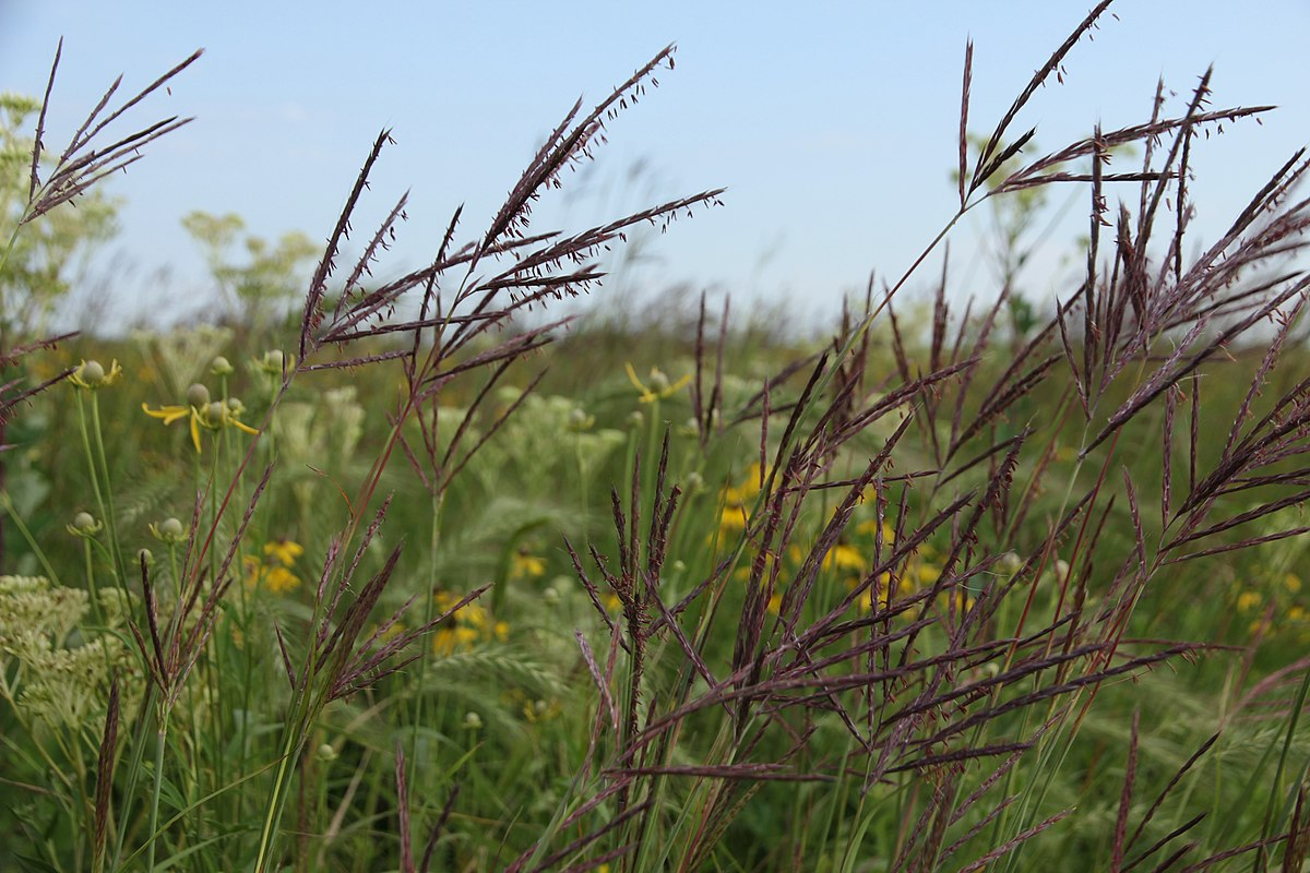 Fescue red, meadow and sisaya: the biological characteristics of species