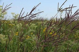 Tallgrass prairie - Flowering big bluestem, a characteristic tallgrass prairie plant