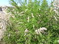 Tamarix canariensis Habito ArgamasillaCalatrava.jpg