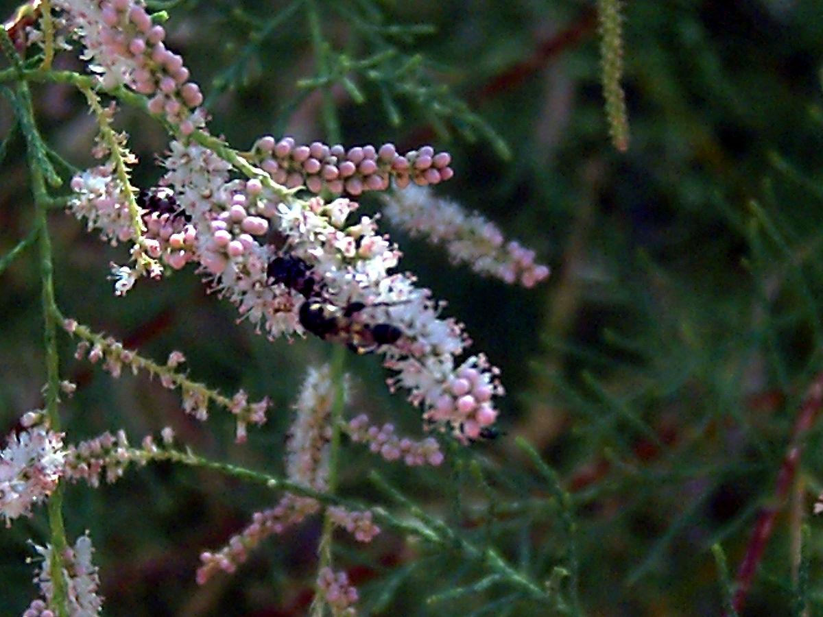 Tamarix Wikispecies