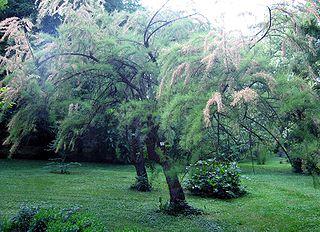 <i>Tamarix tetrandra</i> species of plant