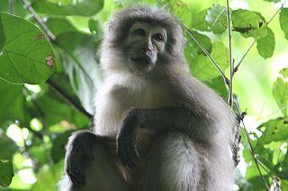 Sanje mangabey Species of Old World monkey