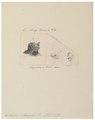 Taphozous melanopogon - kop en schedel - 1700-1880 - Print - Iconographia Zoologica - Special Collections University of Amsterdam - UBA01 IZ20800021.tif