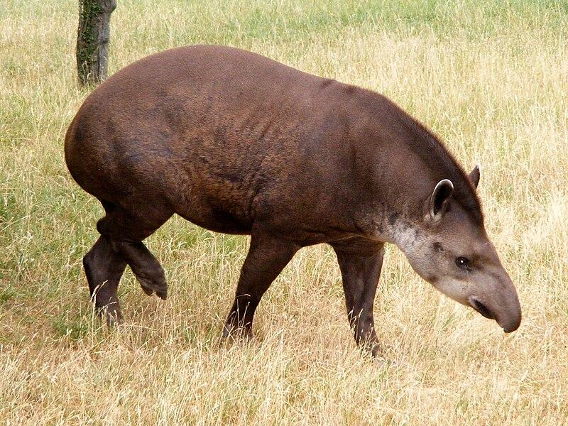 File:Tapir anta.JPG
