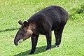 Tapirus pinchaque portrait.jpg