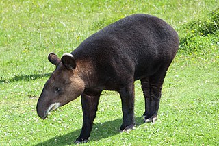 Mountain tapir The only living species of tapir outside of tropical habitats
