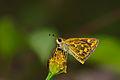 Taractrocera ceramas-Kadavoor-2015-08-22-002.jpg