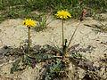 Taraxacum serotinum sl19.jpg