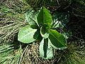 Taraxacum serotinum sl51.jpg