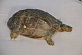Taxidermied Turtle - Palta - North 24 Parganas 2012-04-11 9584.JPG