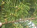 Taxus cuspidata Brno1.JPG