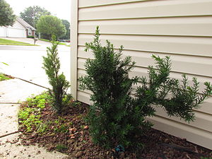 Taxus × media - Two immature Taxus media (Anglojap) var. hicksii yews planted in central Indiana, United States of America.  Although T. media are slow-growing, the specimen on the right may require pruning within 2-3 years in order to avoid blocking the nearby sidewalk.