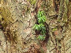 Taxus uitgezaaid in een knotwilg. 28-07-2019. (d.j.b). 08.jpg