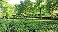 Tea Garden in Jalpaiguri.jpg