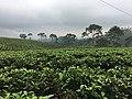 Tea plantations in Central Java.jpg