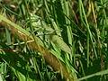 Tettigonia viridissima RIMG3843.jpg