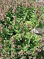 Teucrium chamaedrys (BG Wroclaw)-2.JPG