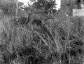 Text, Neg. 13734 Kaudern Suddigt svin i buskage Bild 21736 . Madagaskar - SMVK - 021736.tif