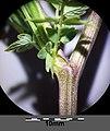 Thalictrum minus subsp. minus sl3.jpg