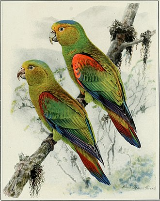 Louis Agassiz Fuertes - Fuertes's parrot, named after Louis Agassiz Fuertes