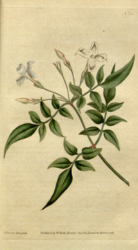 《植物學雜誌》(1787) Jasminum officinale