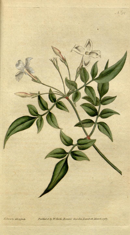 《植物學雜誌》(1787)Jasminum officinale