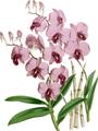 The Orchid Album-01-0116-0038-Dendrobium bigibbum-crop.png