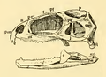 The Osteology of the Reptiles-092 jkdcfsghgrd.png