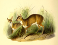 The book of antelopes (1894) Nesotragus pygmaeus.png