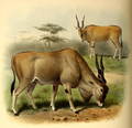 The book of antelopes (1894) Taurotragus oryx.png