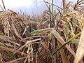 The feild with crops.jpg