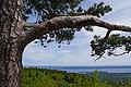 The living pine ) (5790633081).jpg