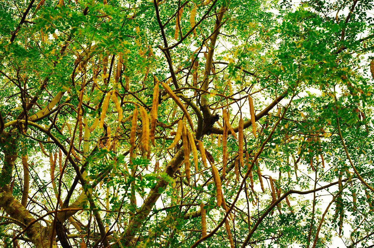 moringa oleifera   wiktionary