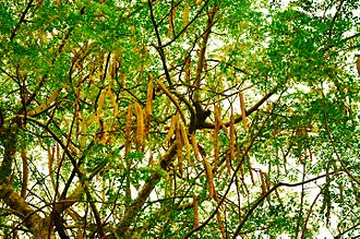 Moringa oleifera - Tree and seed pods of Moringa oleifera
