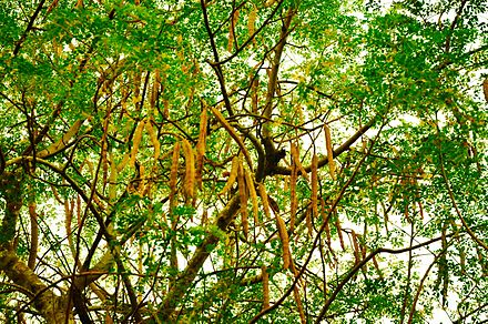 440px-The_tree_and_seedpods_of_Moringa_oleifera.JPG