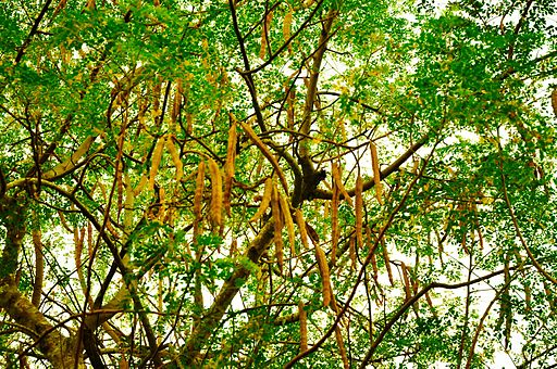 The tree and seedpods of Moringa oleifera