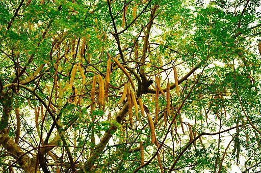 The tree and seedpods of Moringa oleifera