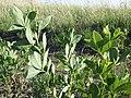 Thermopsis rhombifolia (7497290018).jpg