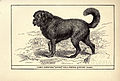 Thibet Sheepdog BDL.jpg