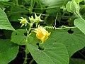Thladiantha nudiflora - Talence - 201007 (2).jpg