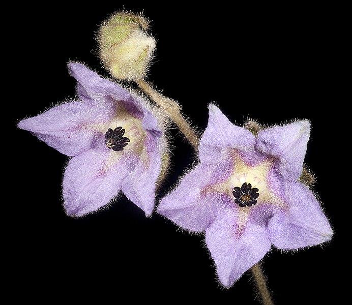 File:Thomasia macrocarpa - Flickr - Kevin Thiele.jpg