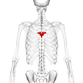 Thoracic vertebra 6 posterior2.png