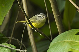 Three-banded warbler Species of bird