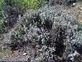 Thymus vulgaris DehesaBoyal2.jpg
