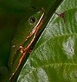 Tiger-striped Leaf Frog (Callimedusa tomopterna) (40927641871).jpg