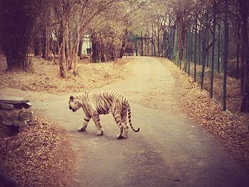 Tiger Roar.jpg